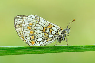 Photo: Melitaea athalia, Mélitée du mélampyre ou Damier Athalie, Heath Fritillary  http://lepidoptera-butterflies.blogspot.com/