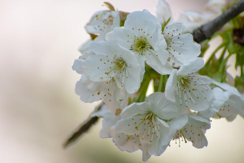 fiori di ciliegio di battphoto