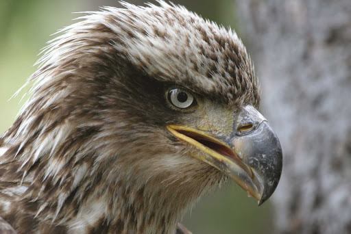 Closeup of a protected eagle in Cape St. Mary's Ecological Reserve, Avalon, Newfoundland.