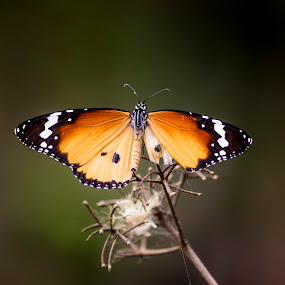 Butterfly  by Bill Chatterjee - Animals Insects & Spiders ( mumbai, kolkata, wildlife, india, insect, delhi )