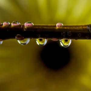 daisy drops.jpg