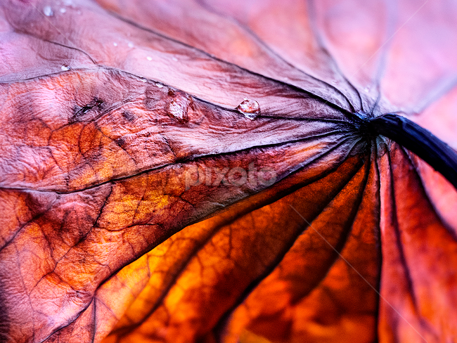 lotus leaf by Marianna Armata - Nature Up Close Leaves & Grasses ( water, detail, lotus, drop, back-lit, leaf, marianna armata, veins, light )