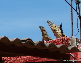 Photo: Green iguanas sunning on a rooftop in the San Blas square