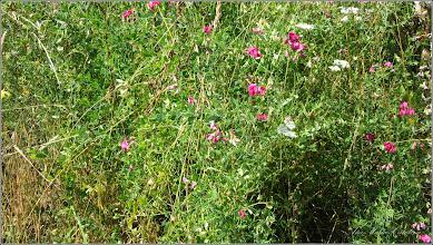 Photo: Mazăre sălbatică (Pisum sativum subsp. elatius) - din zona Badeni, Cluj - 2016.07.16