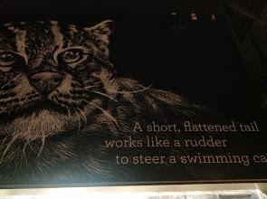 Photo: description for the Swimming Cat