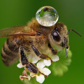 Drop on Bee by Agus  Sudarmanto - Animals Insects & Spiders