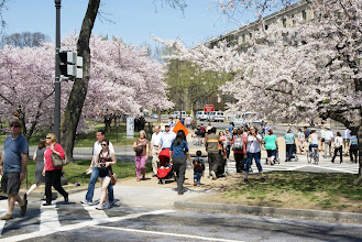 Photo: Crosswalks are pretty with cherry blossoms