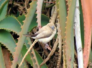 Photo: Warbling Silverbill