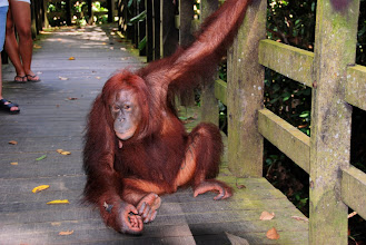 Photo: The Orang jumps to the viewing area!
