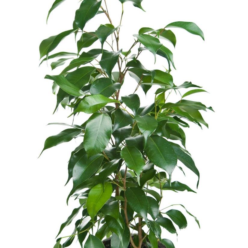 El Ficus y sus cuidados