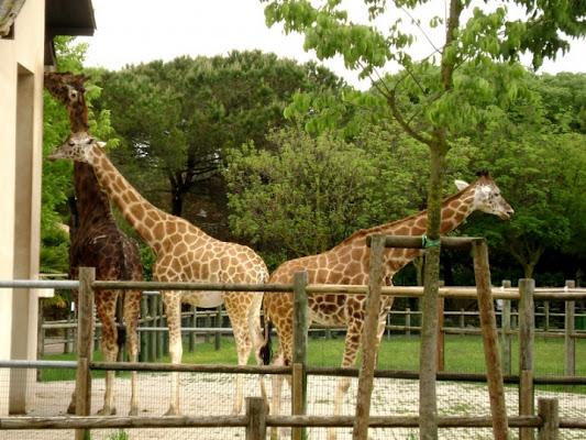 Giraffe a Y di roberto.t
