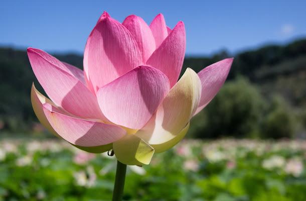 Fiore di Loto di Gianluca Presto