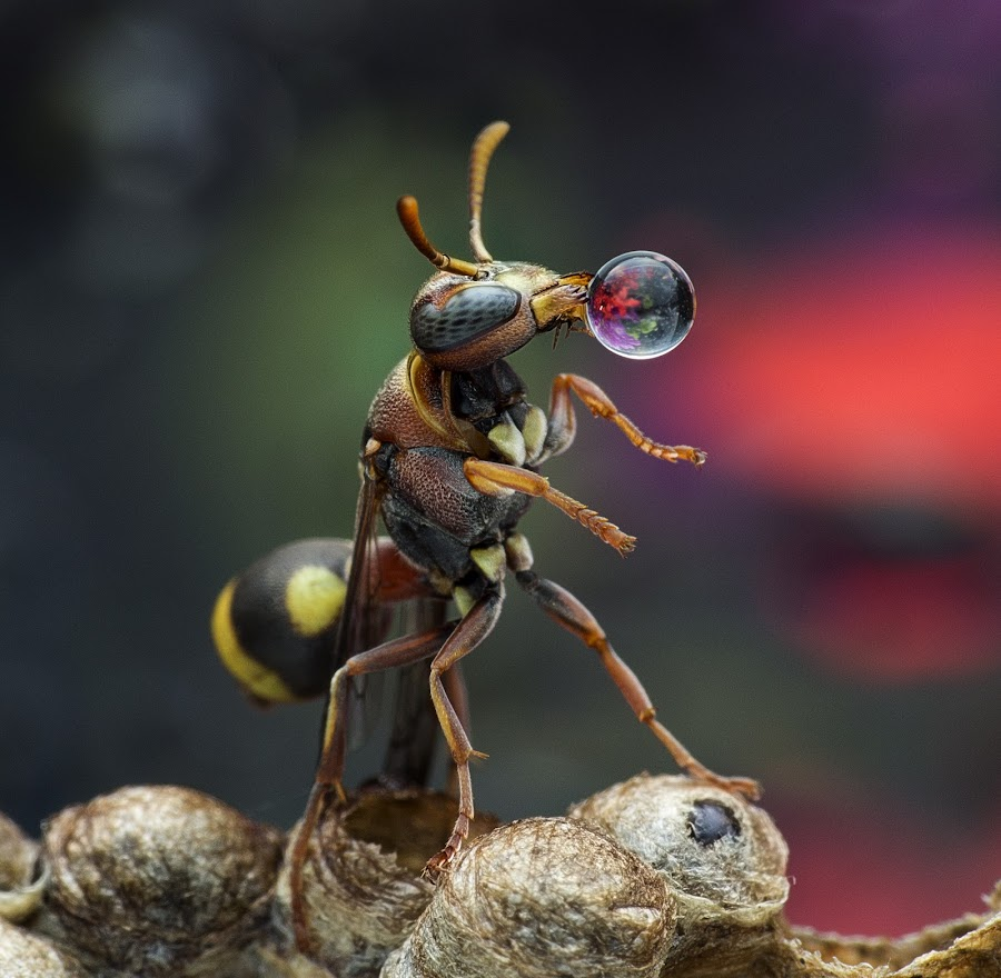 Wasp 150921B by Carrot Lim - Animals Insects & Spiders ( colour, water drops, macro, wasp, insect )
