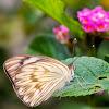 borboleta-brancão