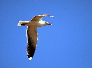 Photo: Морская чайка. Большой Седловатый.
