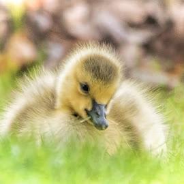 Sweetness by Sheen Deis - Animals Birds ( gosling, baby birds, downy, goose, yellow, sweet, soft )