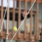 House Finch (♂)