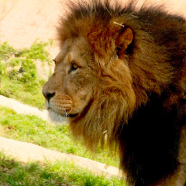 Lion by Richard Lawes - Novices Only Wildlife