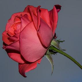 margarita by Miguel Lopez De Haro - Nature Up Close Flowers - 2011-2013