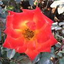 Rose (Red)