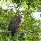 Common Black Hawk - Juvenile
