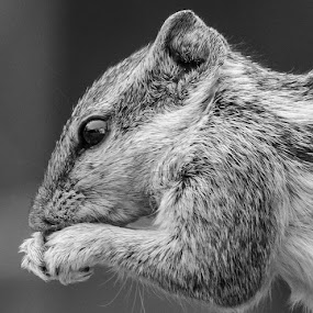 Chipmunk in action by Brijesh Meena - Black & White Animals ( animals, chipmunk, wildlife, chipmunks, indian,  )
