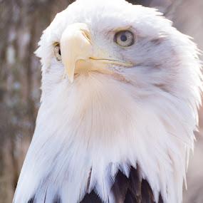 Msjestic by Kyle Kephart - Animals Birds ( looking, bird, eagle, nature, beautiful, bald eagle, bald, head, close up, portrait, eyes )