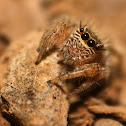 Evarcha jumping spider