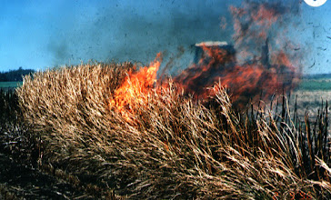Photo: Australia: This vetiver hedgerow was deliberately set fire in the dry season - Paul Truong
