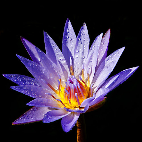 Lotus Ungu by Chev Sheva Chenko - Nature Up Close Flowers - 2011-2013