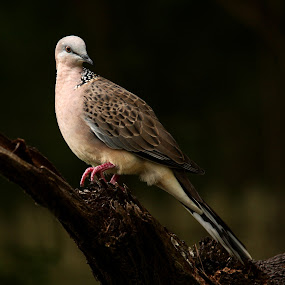 Spotted Turtledove by Erica Siegel - Animals Birds ( bird, bird at dusk, spotted turtledove, turtledove, dove )