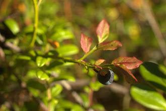 Photo: Blueberry