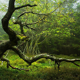 Mystic forest by Pavel Vrba - Nature Up Close Trees & Bushes ( nature, trees )