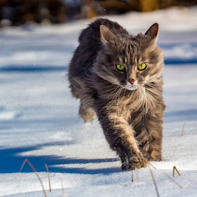 On a mission by Deborah Murray - Animals - Cats Playing ( cat, playful, yard, furry, sunlight, running, playing, winter, shadow, outdoors, snow, angry cat, fur,  )