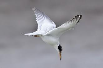 Photo: Yellow-billed Tern