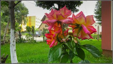 Photo: Calea Victoriei, B15, spatiu verde - Trandafir - (Rosa) - 2017.06.07