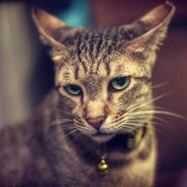 by Rajesh Srinivasan - Animals - Cats Portraits