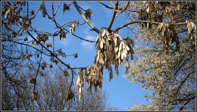 Photo: Frasin ?   -  2016.03.30 - de pe Calea Victoriei info: http://www.gradina-noastra.ro/arbori-ornamentali/95-frasin-comun-fraxinus-excelsior-l-.html