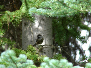 Photo: One of our best sightings: Boreal Chickadee. Right where it's supposed to be: in dense stands of sub-alpine firs and Engelmann spruce