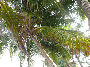 Photo: Miia thought: if there's enough for chickens, there's enough for me. She paid the family and their son climbed up for her coconut. See him up there?