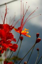 Photo: Orgueil de Chine, jardin du Busua Inn, Busua Beach, west coast, Ghana