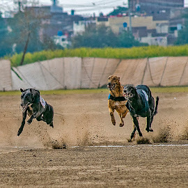 by Mohsin Raza - Animals - Dogs Running