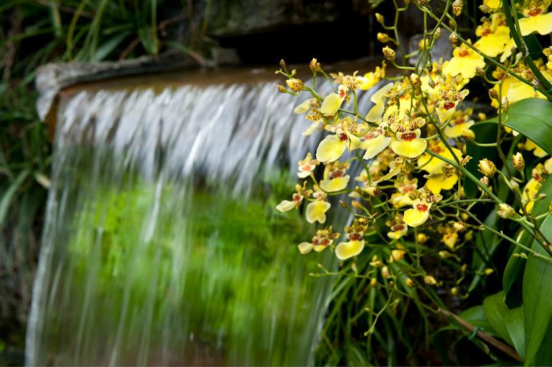 Photo: A waterfall of 60 yellow Onicdium orchids brightens the Cascade Garden.