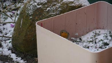 Photo: Rouge-gorge très timide, il préfère rester en bas