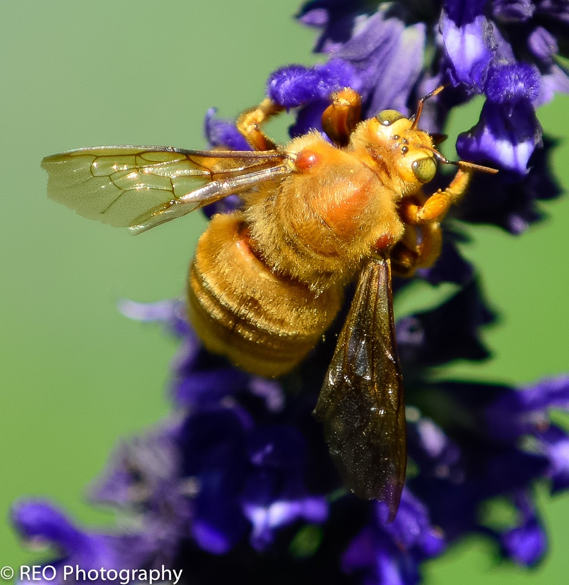 The Valley Carpenter Bee
