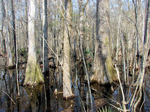 Photo: Four Holes Swamp in the Beidler Forest