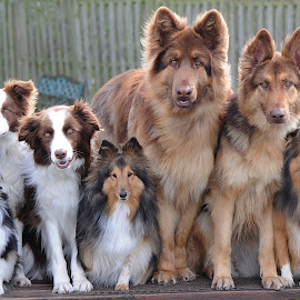 by Jules O'Dwyer - Animals - Dogs Portraits ( dog family, dogs, dog portrait, cute dogs, canine family )