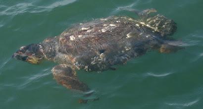 Photo: Loggerhead sea turtle, 4-20-10, near Shackleford Banks. NC Maritime Museum photo courtesy of Keith Rittmaster.