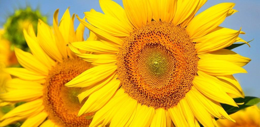 Unduh Wallpaper Pubg Hd Apk Versi Terbaru Aplikasi Untuk: Unduh Wallpaper Bunga Matahari By Ipmobilesolutions Apk