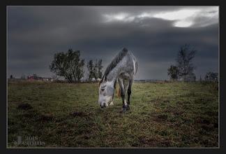 Photo: Schönes Pferd - Grauschimmel